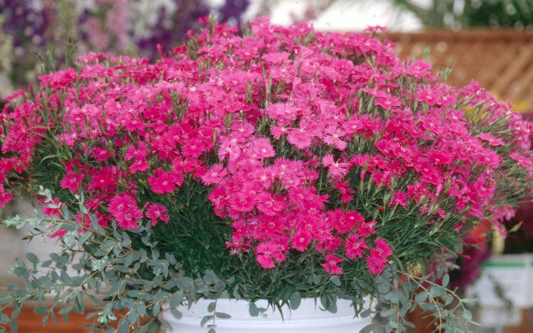 "Review: Dianthus ""Flower Of Love"" For Indoors – Perfect For Your Home"