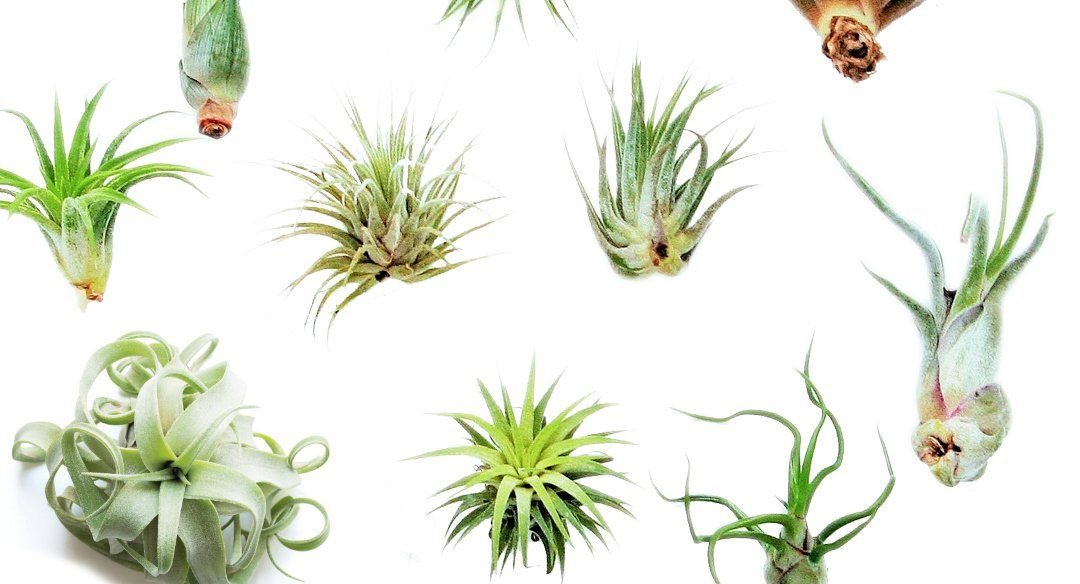 Different Types Of Air Plants And How To Take Care Of Them