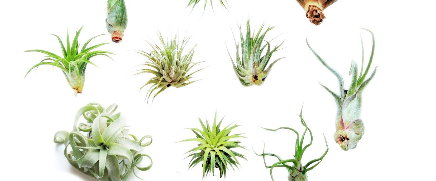 different types of air plants and how to take care of them. Black Bedroom Furniture Sets. Home Design Ideas