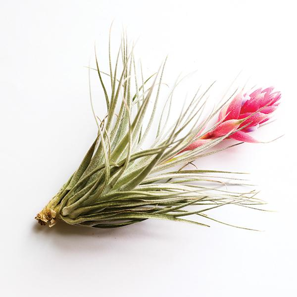 Tillandsia Houston with Pink Petals