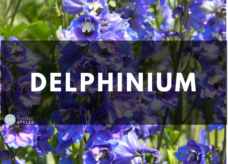 What Is A Delphinium And How Should We Take Care Of It