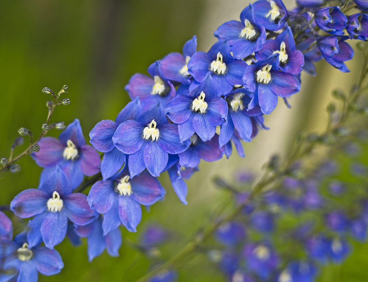 How to Care for Delphinium
