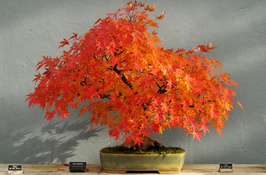 Japanese Maple: Planting And Growing Needs