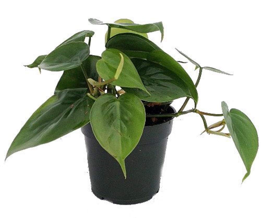 Philodendrons in a flower pot