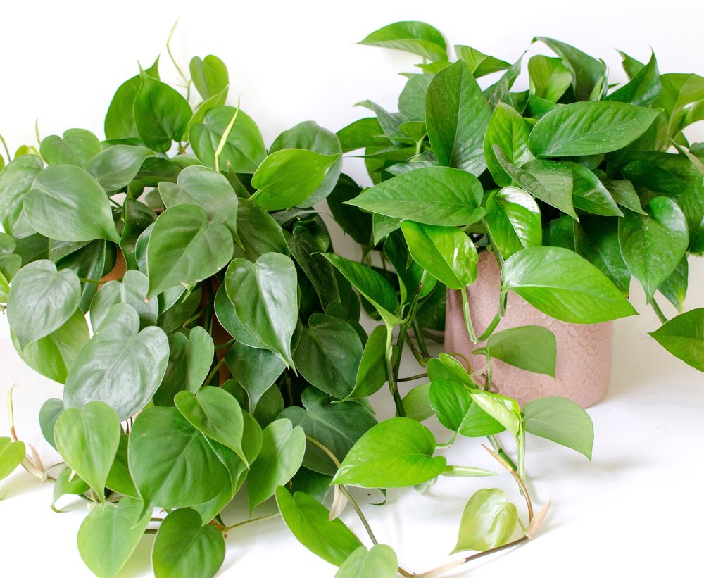 Pothos and  Philodendron