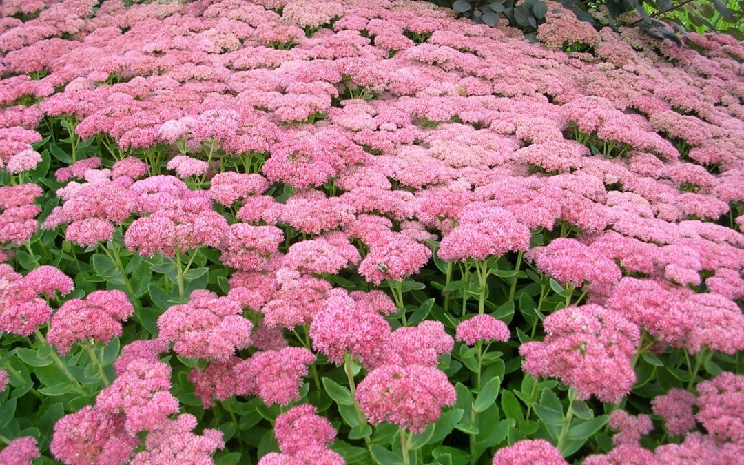 Different Ways On How To Propagate Your Sedum Plants