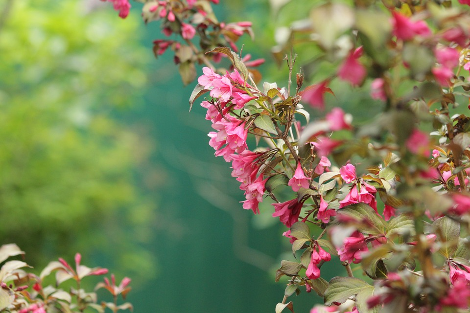 Weigela bloosoming