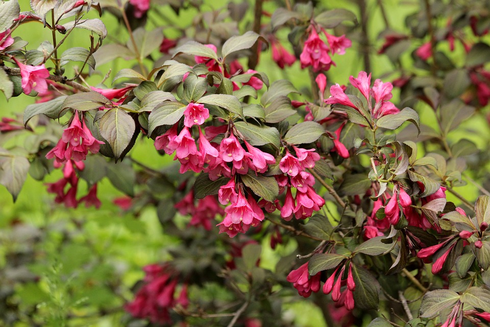 Weigela Shrubs