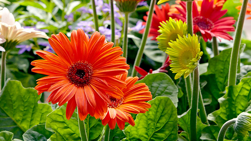 Gerbera Daisy – How To Plant, Care And Pollinate One