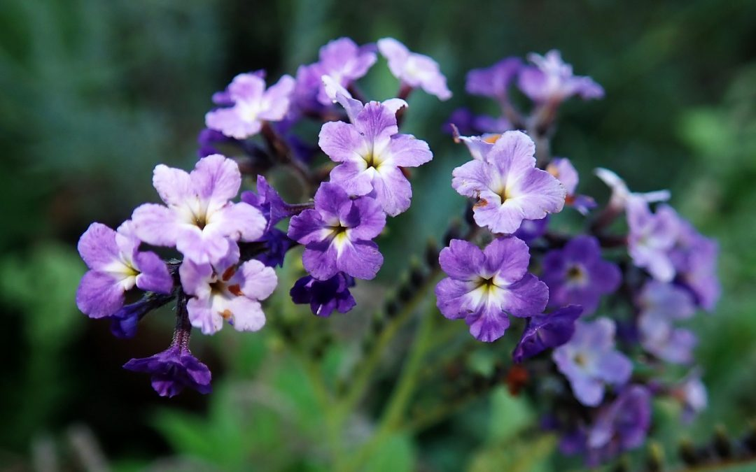 Heliotrope: Different Types Of Flowers You Should Know